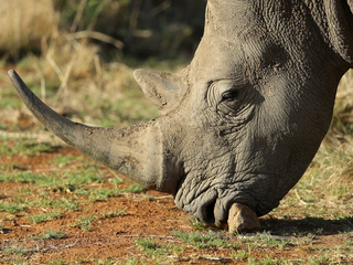 Man gets 18-months for rhino horn trafficking