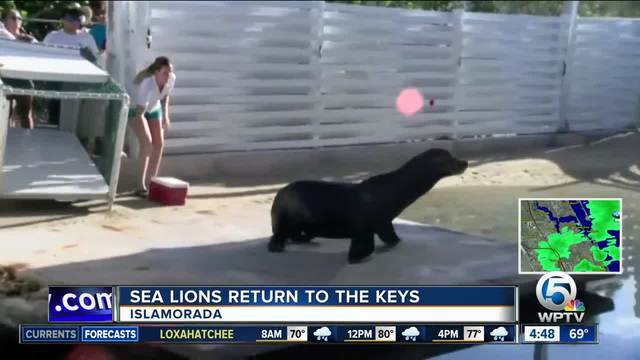 8 sea lions return to Keys attraction after Hurricane Irma