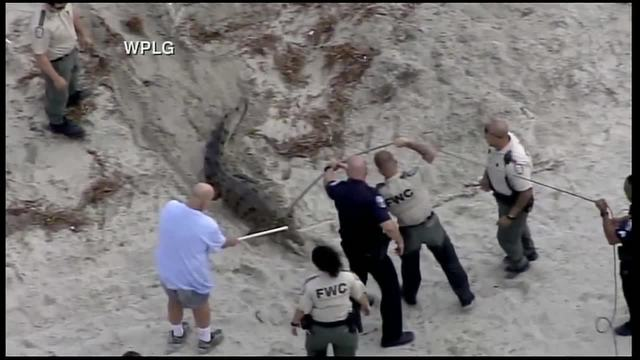 Crocodile caught on Hollywood beach released at undisclosed location