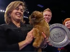 Newton the Brussels Griffon crowned top dog