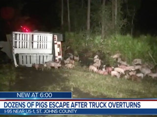 Loose pigs wander near I-95 after crash