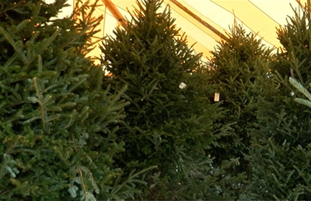 the national christmas tree association reports christmas trees are in short supply and that may drive up prices