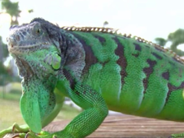 iguana attack sends florida woman to the hospital