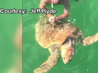 VIDEO: FL man dives in to rescue tangled turtle