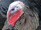 Why salmonella shouldn't ruin your Thanksgiving