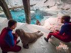 Rescued Alaskan Walrus being raised at SeaWorld