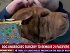 21 pacifiers removed from dog's stomach