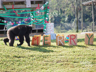 Christmas with the chimps at Lion Country Safari