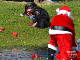 Santa brings chimps gifts at Lion Country Safari