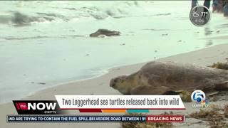 Rehabbed loggerhead sea turtles return to wild