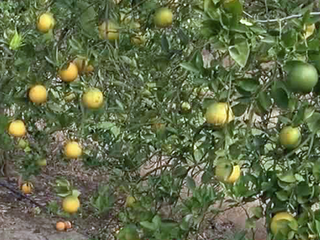 Citrus growers dodge a bullet with cold snap