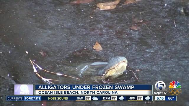 Ice, Ice, Gator? Alligators poke nose through ice to survive