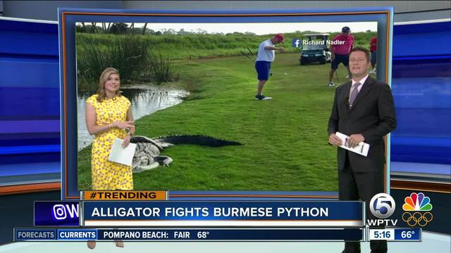 Alligator bites python while tangled on golf course in Florida