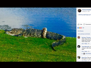 Python, alligator tangle on Florida golf course