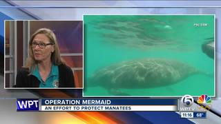 Operation Mermaid helping to protect manatees