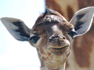 PHOTOS: Baby giraffe born at Lion Country Safari