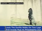 Gorilla at Philadelphia Zoo walks on two legs