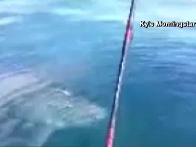 Great white checks out fishermen pulling anchor off of Ponce Inlet