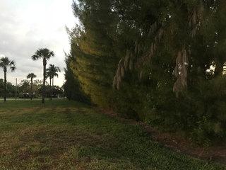 Invasive pines cut down in West Palm Beach