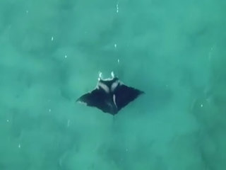 Manta off Palm Beach could be new species