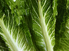 5 dead, many sick in romaine lettuce outbreak