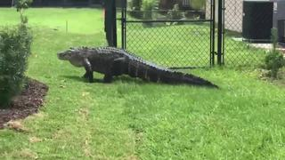 8-foot gator spotted wandering in PSL yard