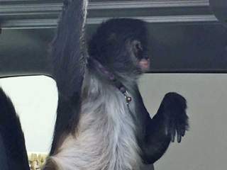 Owner of accused biting pet monkey arrested