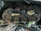 Rattle under hood turns out to be big snake