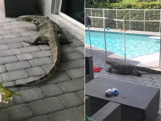 Giant lizard lurks in South Florida family's backyard ...