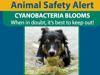 Animal safety alert concerning algae blooms