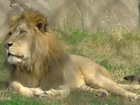 Zoo lion takes bite out of crime