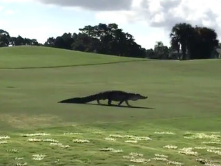 Gator crashes Steve Weagle's golf game