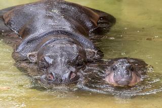 PHOTOS: Pygmy hippo makes zoo debut