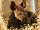 Disney World announces the birth of an okapi